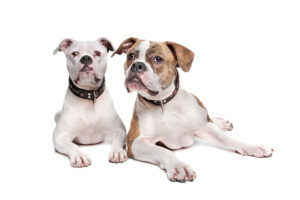 The types of American bulldogs