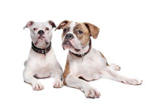 10 Interesting Facts about American Bulldogs