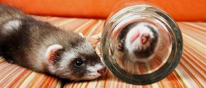 Ferrets love to play