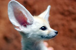 The ears of Fennec Fox