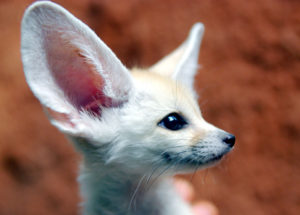 10 Interesting Facts about Fennec Foxes