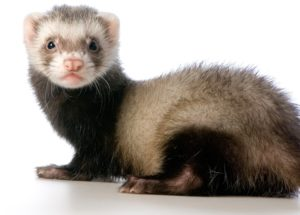 10 Interesting Facts about Ferrets