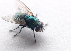 10 Interesting Facts about Flies