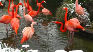 The color of flamingoes