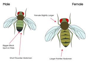 Male and Female Fly