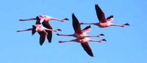 Flamingoes can fly