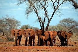 Elephants in the African savanna