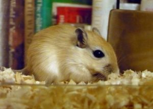 10 Interesting Facts about Gerbils