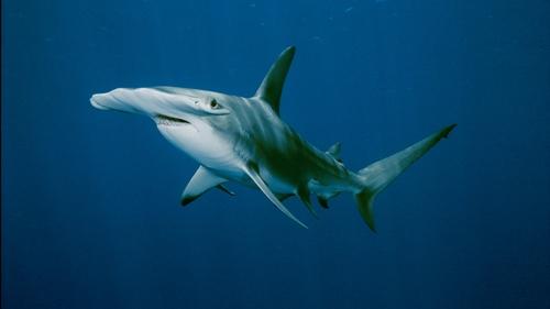 Hammerhead Shark Pic