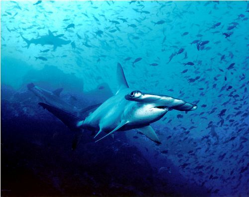 Hammerhead Sharks Facts