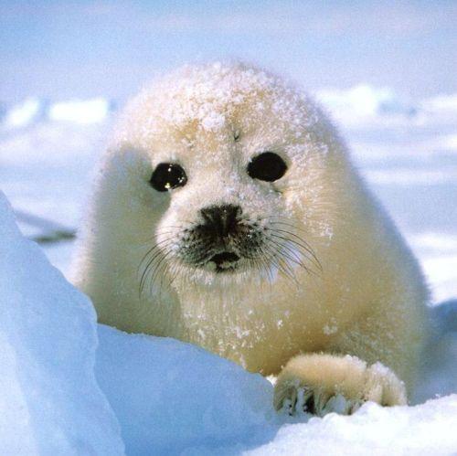 Harp Seal Pic