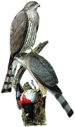 Hawks Pic