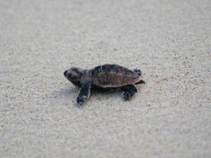 Hawksbill Turtles Cute
