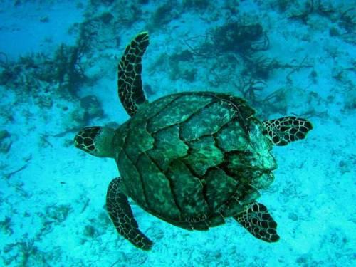 Hawksbill Turtles Image