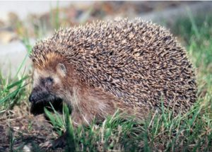 10 Interesting Facts about Hedgehogs