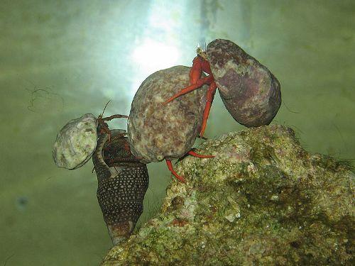 Hermit Crabs Pic