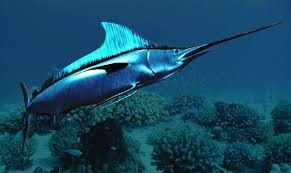 Swordfish is the predator of flying fish