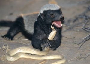 10 Interesting Facts about Honey Badgers