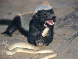 Honey Badgers diet