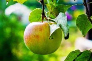 State Fruit Symbol