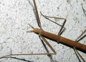 Thanatosis of stick insect