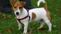 10 Interesting Facts about Jack Russell Terriers