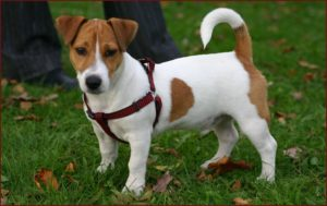 Short-legged Jack Russell Terriers