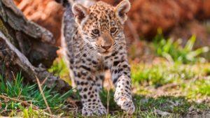 The children of jaguars