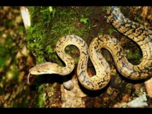 Jamaican boa or Yellow Snake