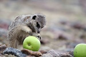 Fruit is one of the meerkat's diet