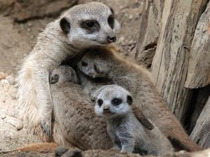 The children of meerkats (Pups)