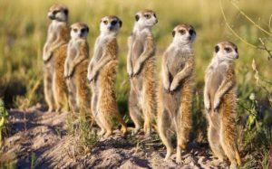 Mob (a group of meerkats)
