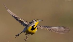 Meadowlark (State bird)