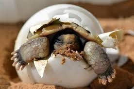 10 Interesting Facts about Dessert Tortoise
