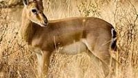 10 Interesting Facts about Gazelles